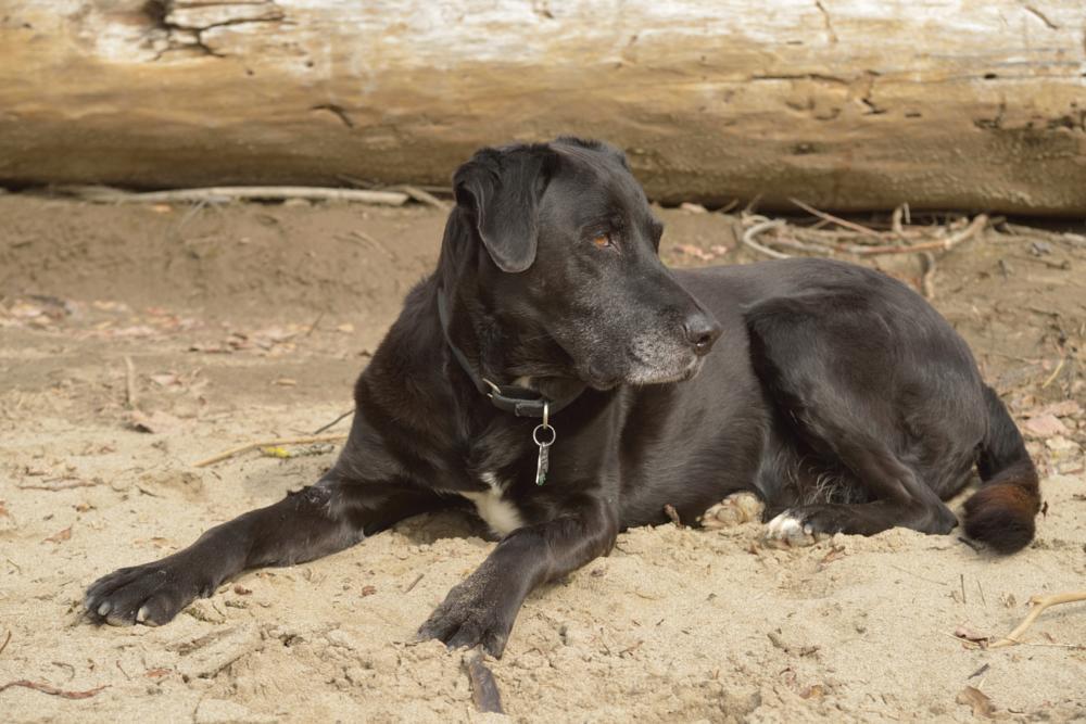 Photo in Animal #dog #portrait #lab #best friend
