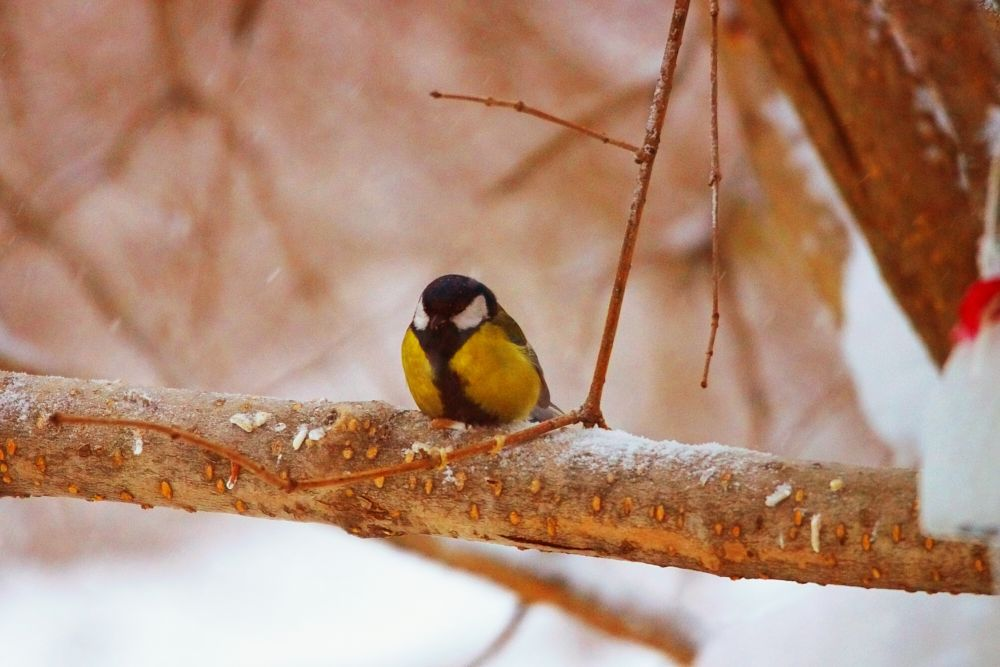 Photo in Random #thoughtful titmouse