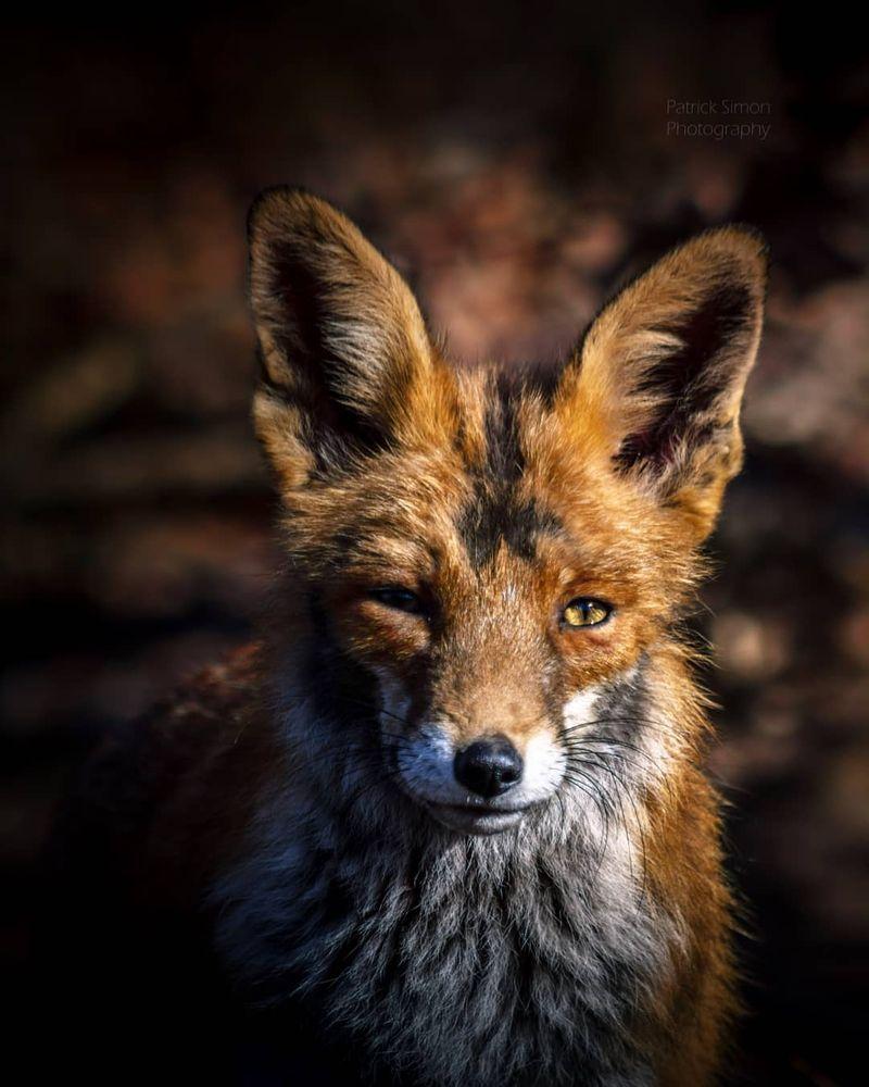 Photo in Animal #animal #animalphotography #fox #foxes #redfox #wildlife #wildlifephotography #colors #edit #colorful #thatlook #beautiful #cute #stunning #cuteness #amazing #eyes #portrait #sharpness #shadows