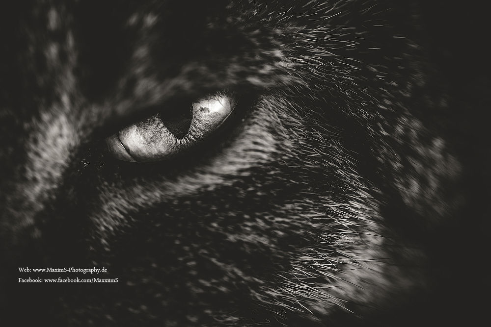 Photo in Animal #cat #cats #animal #katze #tier #ratingen #deutschland #canon #germany #black #white #eye #eos #5d #mark #iii #3 #maximilian #schumacher