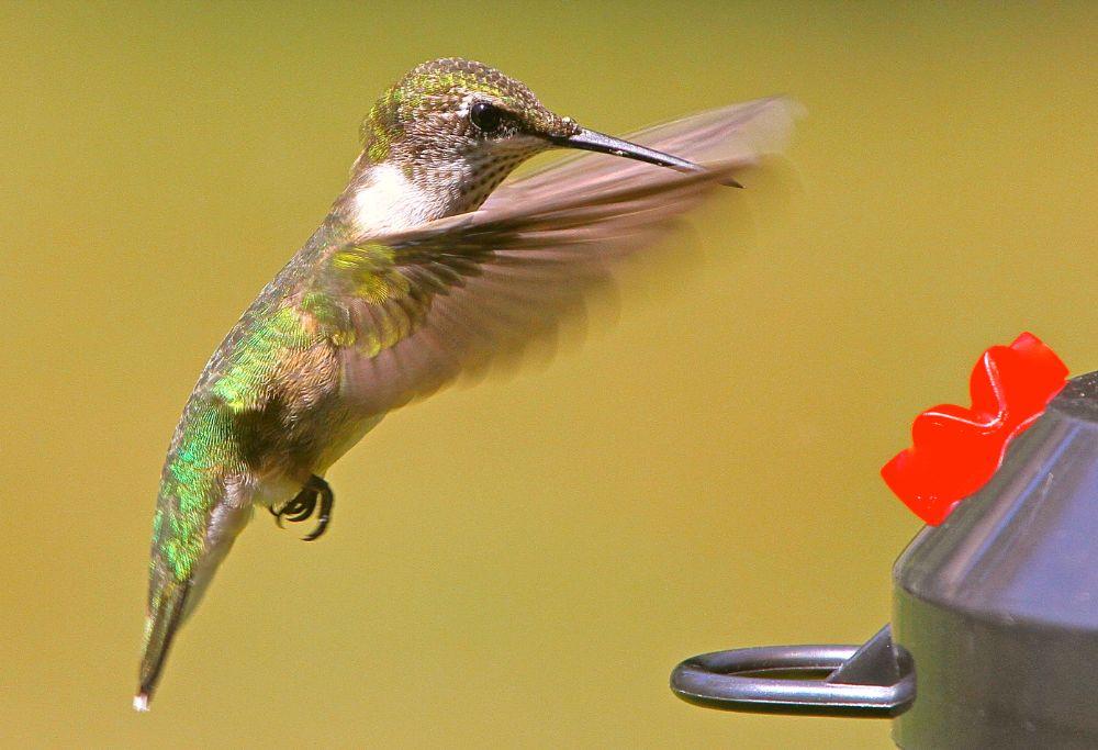 Photo in Animal #bird #hummingbird #nature #free #tiny #pretty #fast #animal