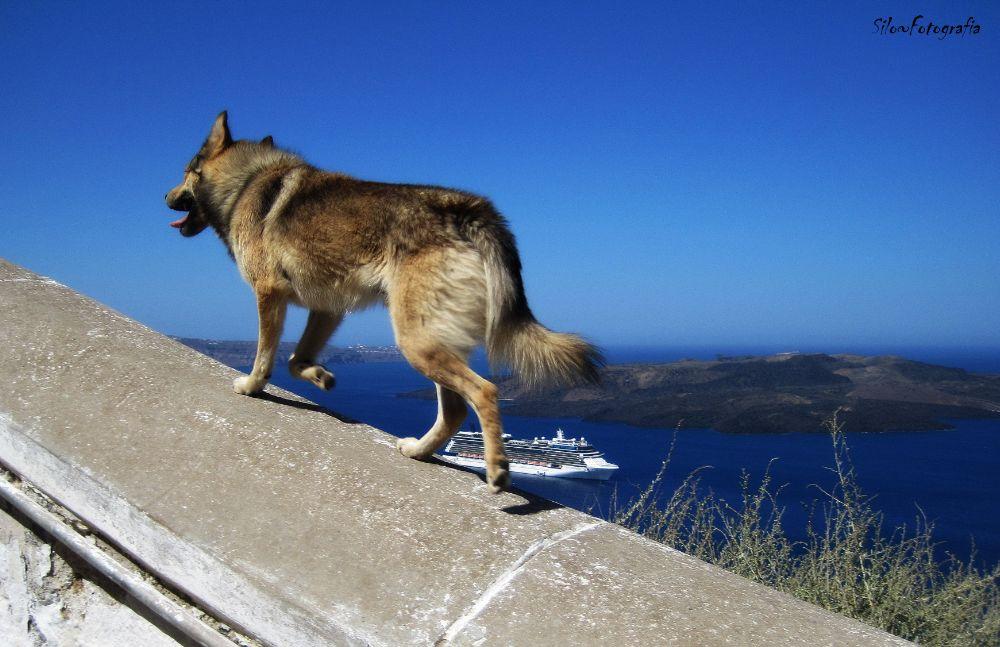 Photo in Random #dog #greece #santorini