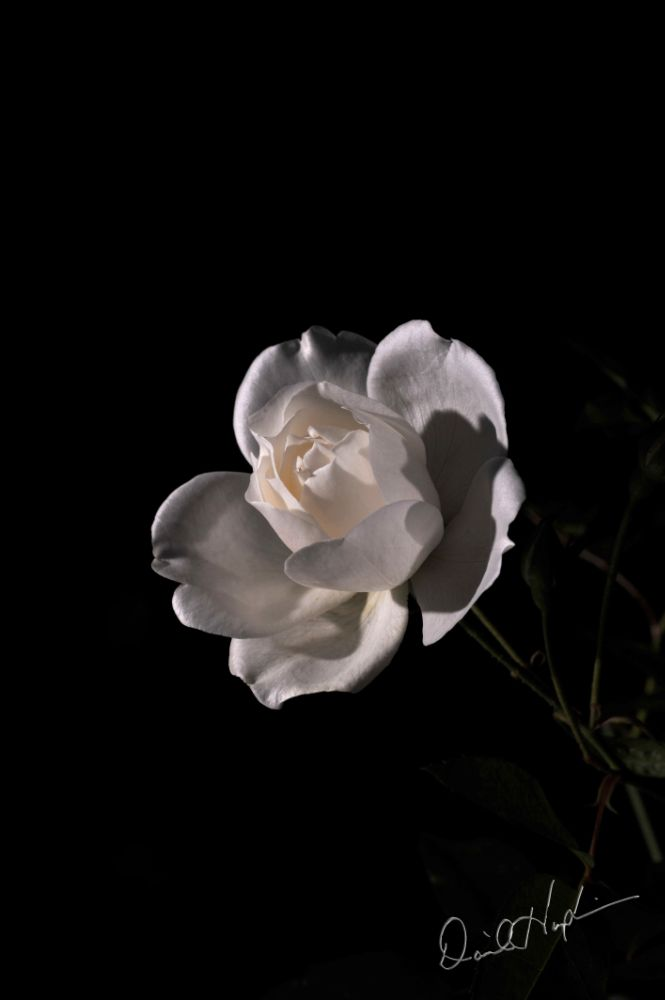 Photo in Fine Art #rose floralpetals flower