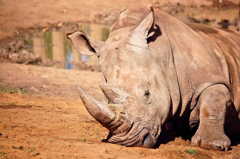 Photo in Animal #rhinoceros #animals #africa #perth #zoo