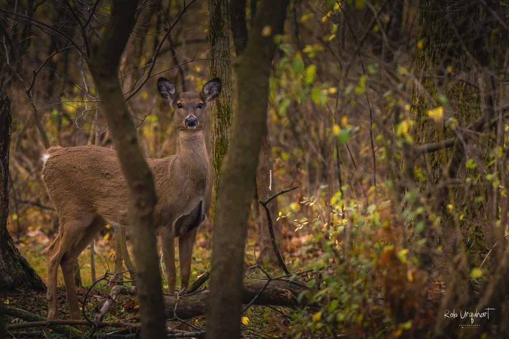 Photo in Animal #nature #animal #deer #doe #autumn #fall #woods #trees