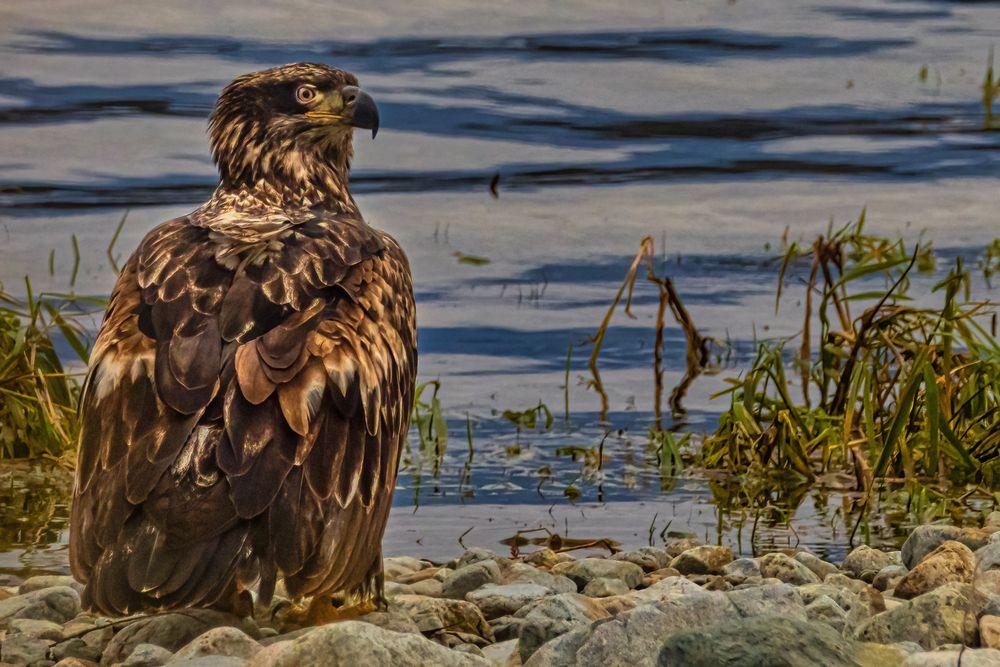 Photo in Animal #golden eagle #raptor #migration #nature #predator #bird #british columbia #canada
