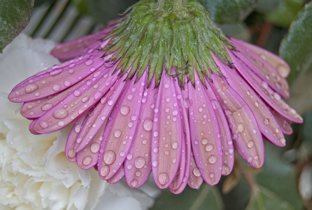 Photo in Nature #drops  daisy rain
