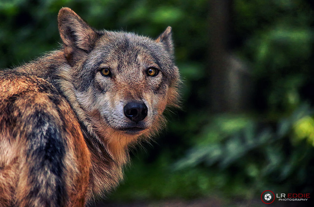 Photo in Animal #the mackenzie valley wolf #canis lupus occidentalis #canadian timber wolf #wolf #canada #lreddie #ypa2013