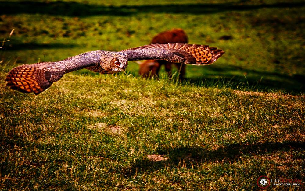Photo in Animal #owl #bird #hunting #lreddie #ypa 2013