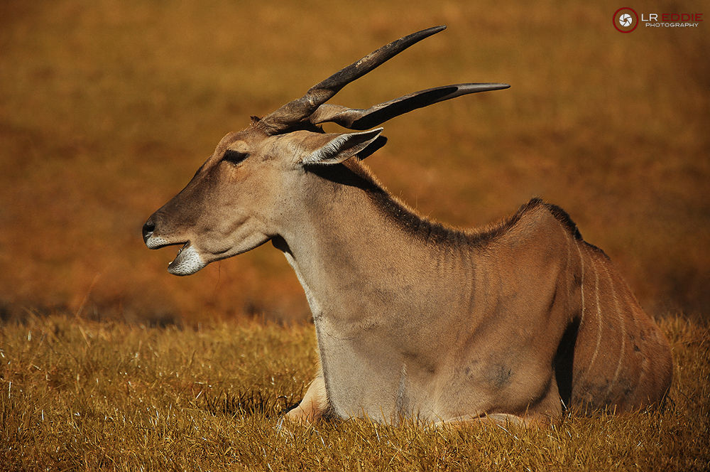 Photo in Animal #the eland antelope #taurotragus oryx #eland #antelope #oryx #africa #lreddie
