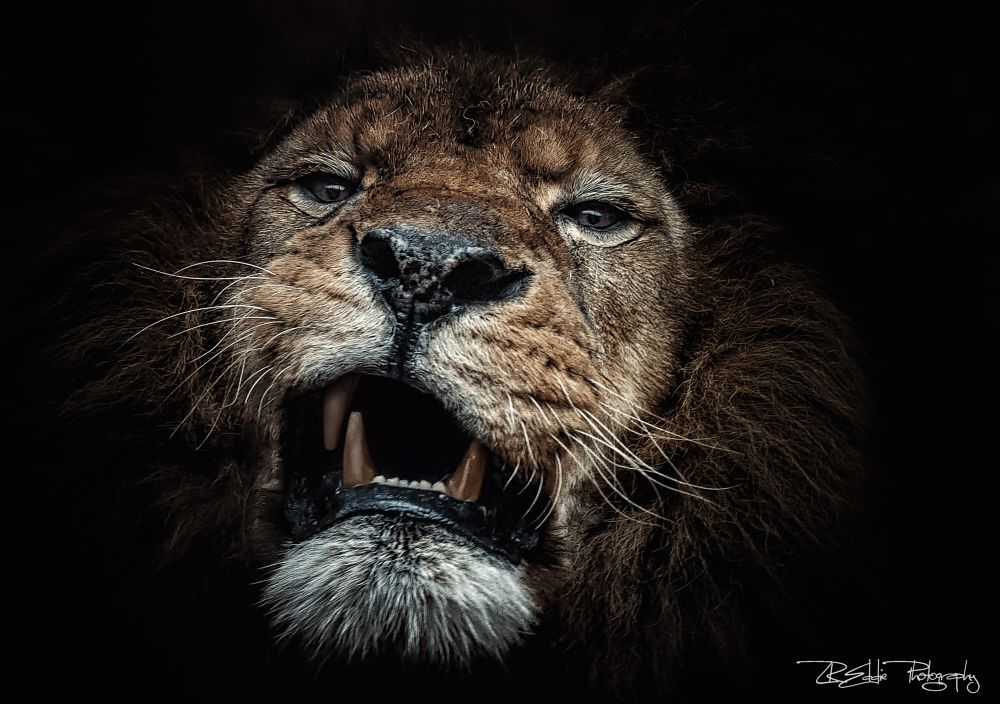 Photo in Animal #out from the dark #cat #lion #panthera leo #predator #lr eddie #mft #olympus #omd #e-m1 #m.zuiko digital ed 40-150mm f2