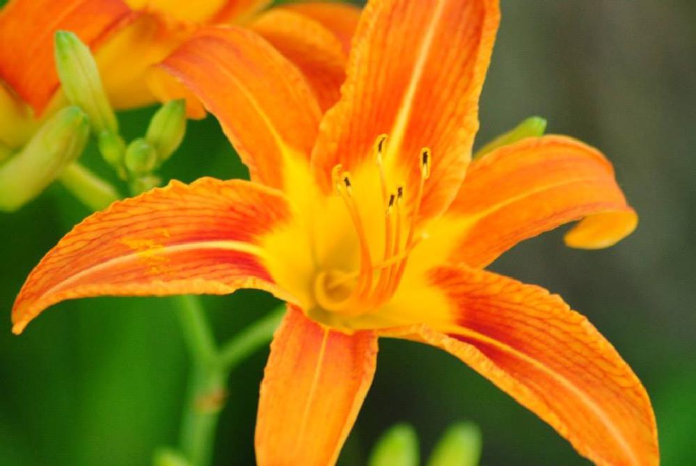 Photo in Macro #tulip #flower #spring