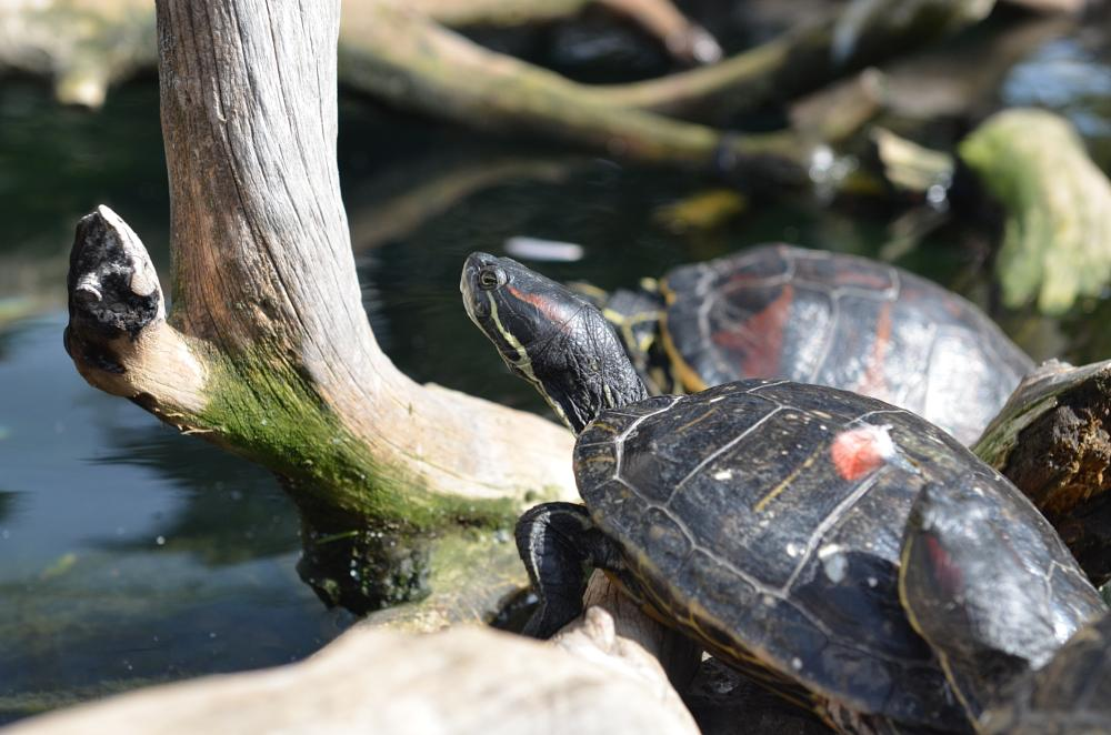 Photo in Animal #turtle #aquatic #animal #color #sunbath