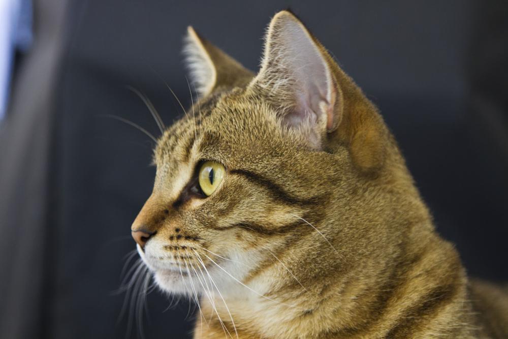 Photo in Animal #cat #feline #tabby