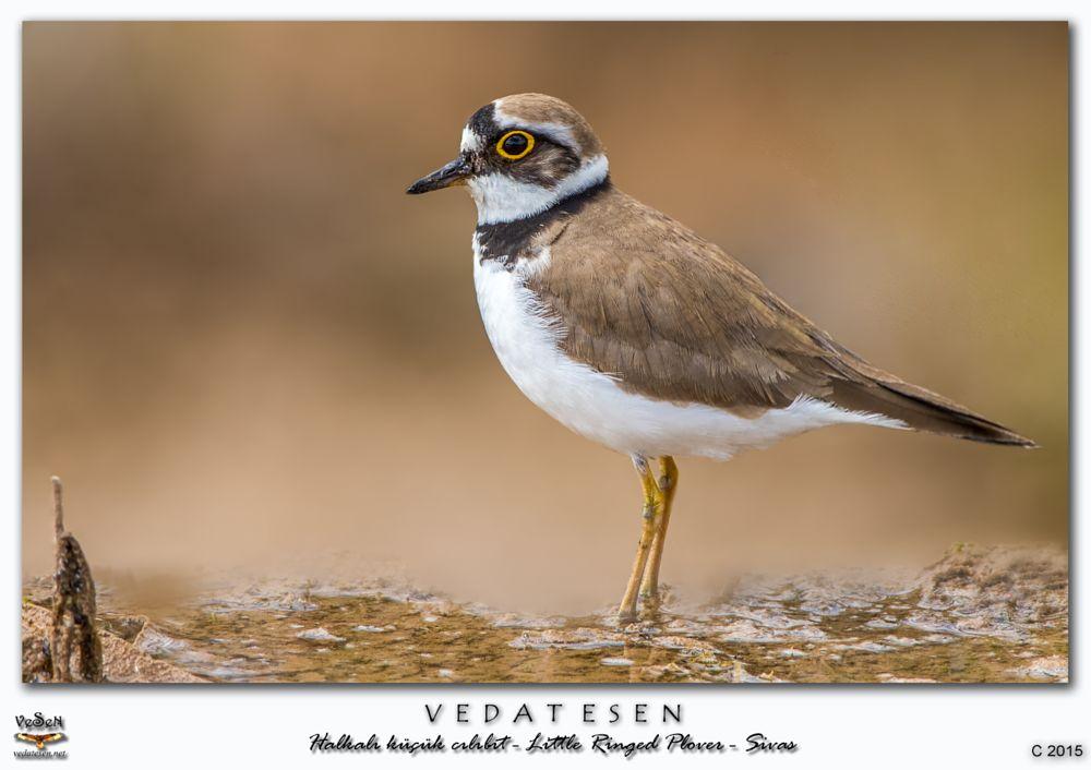 Photo in Animal #little ringed plover / charadr #birds #wildlife