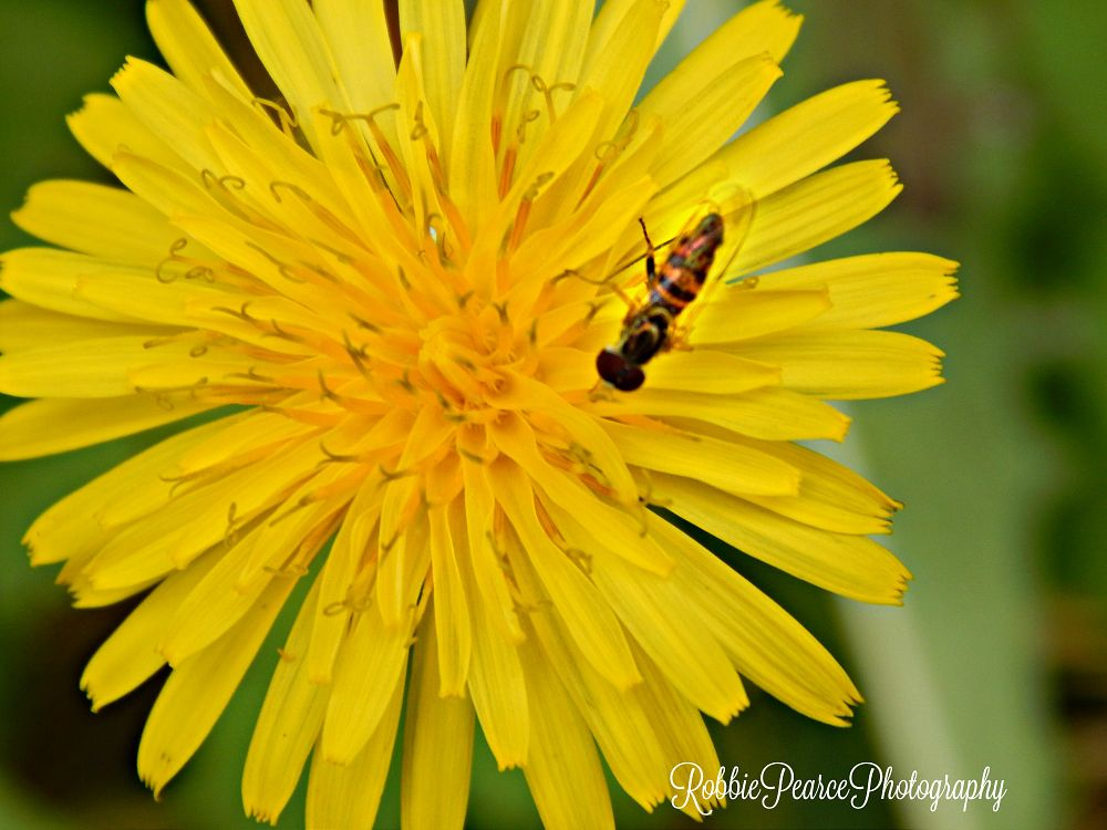 Photo in Nature #nature #bug #bee #yellow #flower #random #pollen #outdoors #i love outdoors #falltime #i will sting you #macros