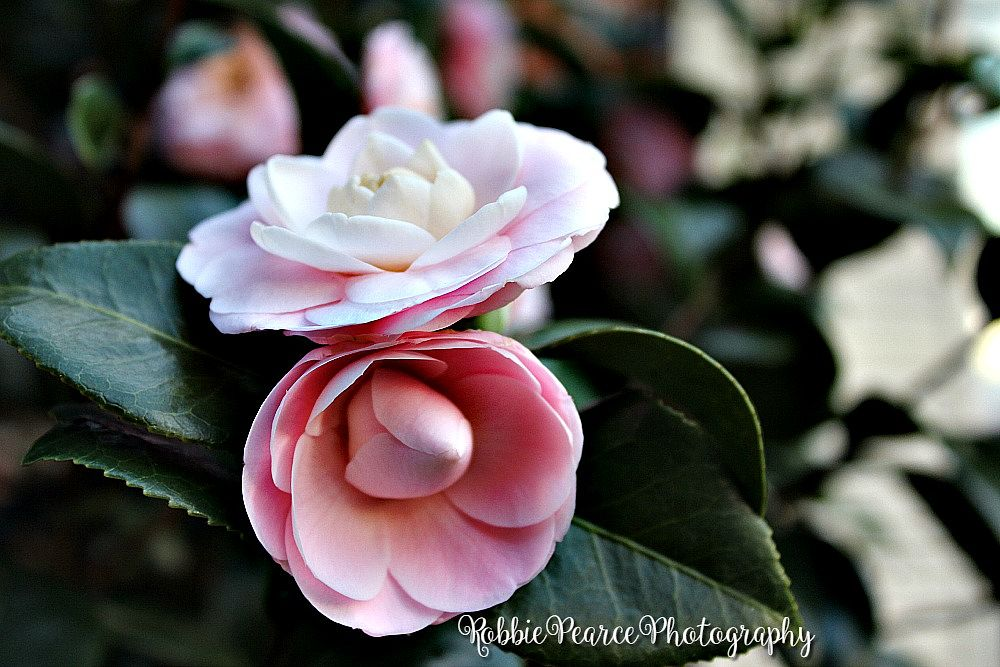 Photo in Nature #nature #random #pink flowers #in bloom #double flower #beautiful #landscape