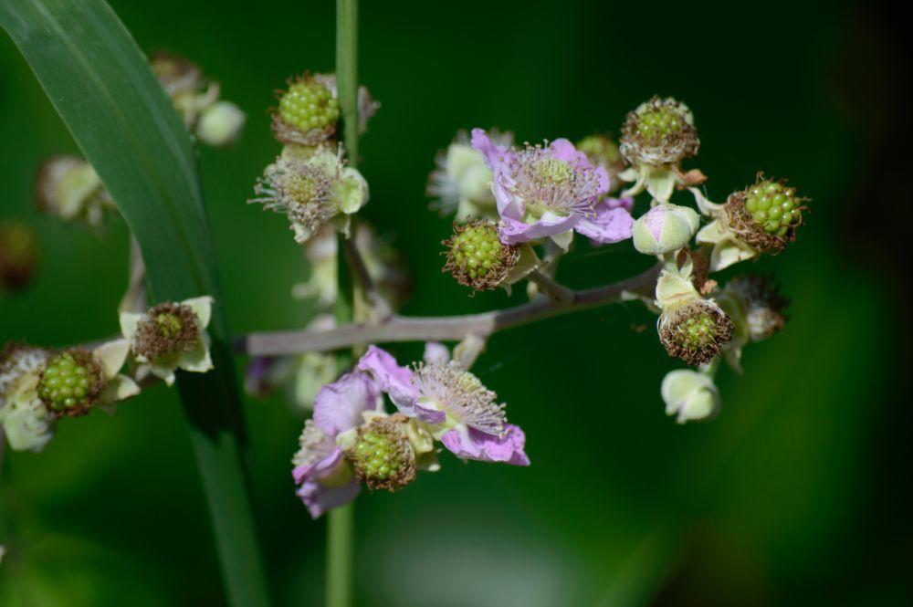 Photo in Macro #blackberries #fruit #flowers #wildfruit #d3200