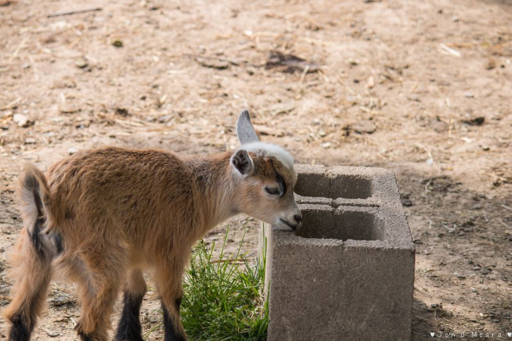 Photo in Animal #animals #goats #baby #baby goats #light brown #zoo