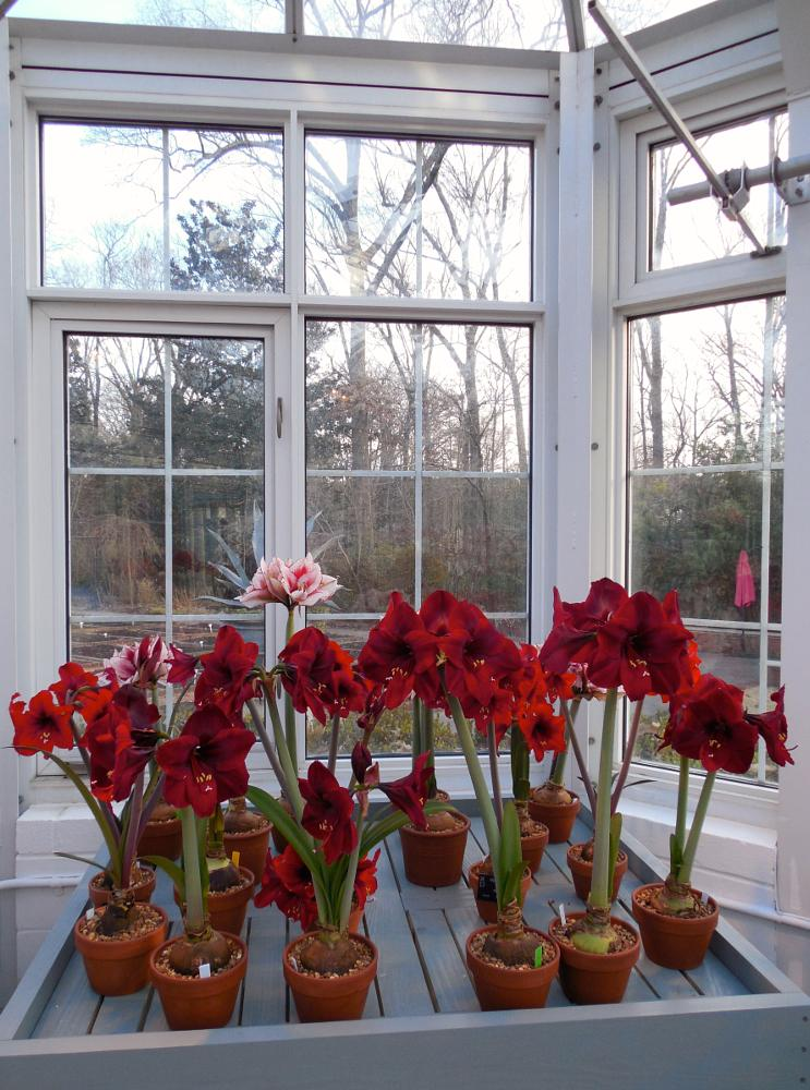 Photo in Nature #amaryllis #red #window #random #vases