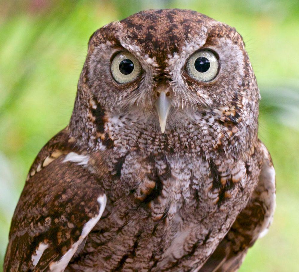Photo in Animal #owl #screech owl #owl portrait #birds of prey #raptors #birds