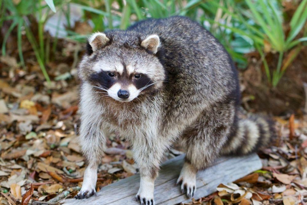 Photo in Animal #racoon #common neighborhood animals #mammals #common mammals