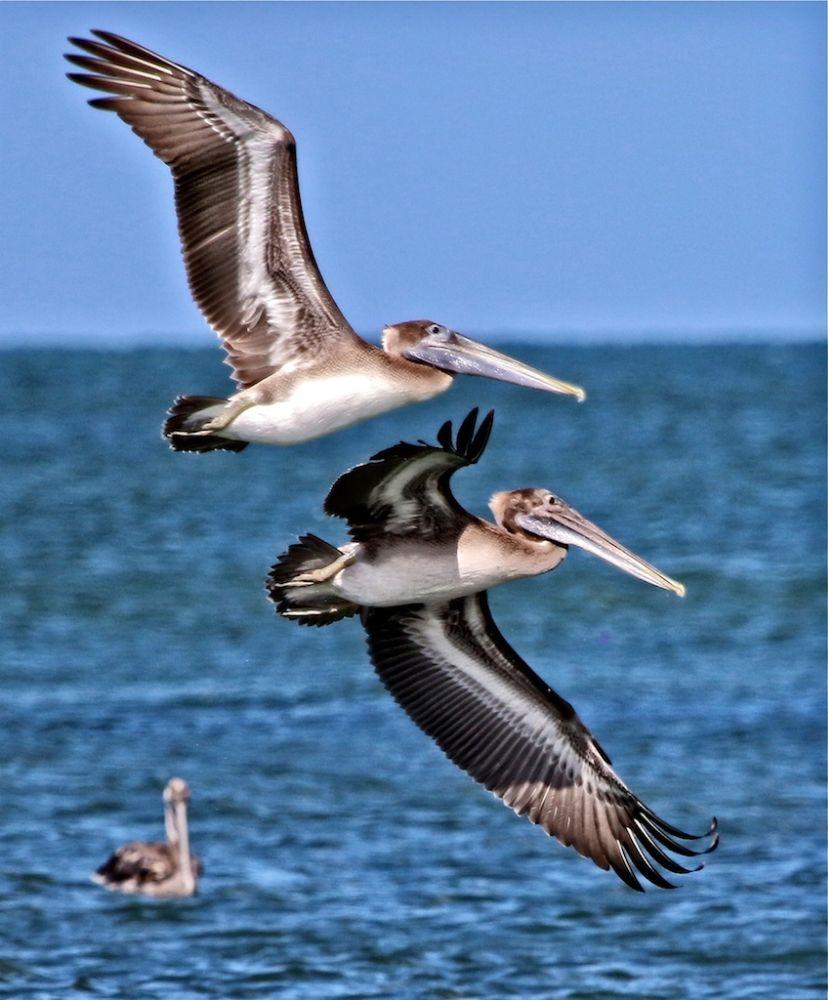 Photo in Random #pelican #pelicans in flight #pelican formation #fishing birds #wading birds #water birds #fish eating birds #birds #florida birds