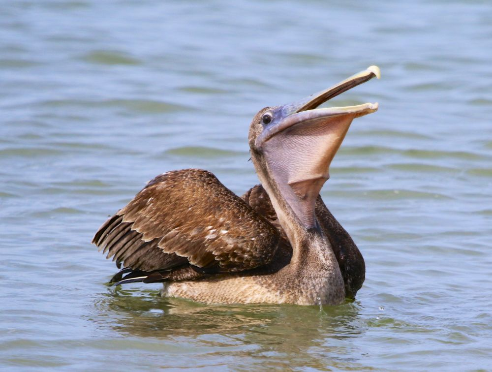 Photo in Animal #pelican #pelican eating #floating pelican #brown pelican #birds #fishing birds