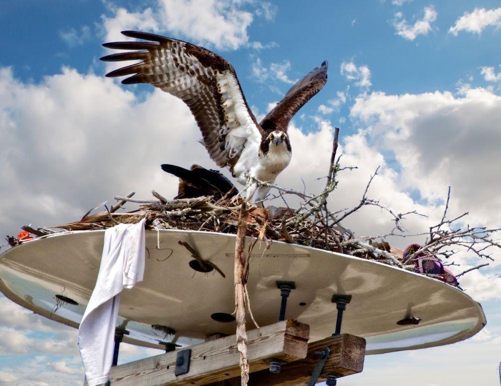 Photo in Animal #osprey #osprey nest #birds #birds of prey #raptors