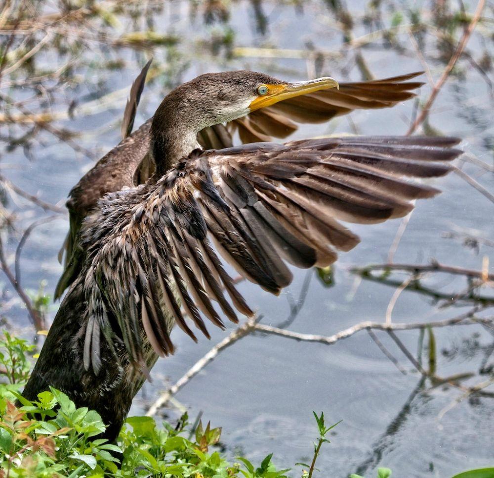 Photo in Animal #cormorant #double-crested cormorant #fishing birds #water birds #birds