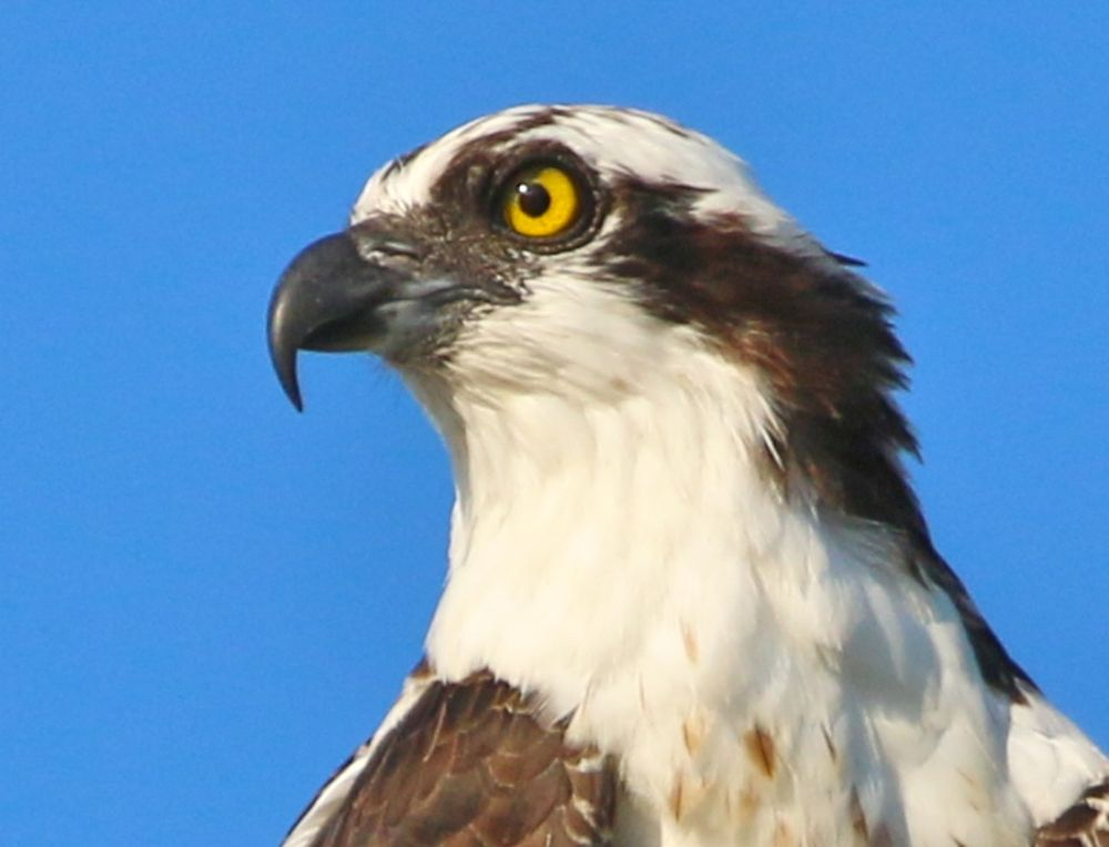 Photo in Animal #osprey #raptor #birds of prey #birds
