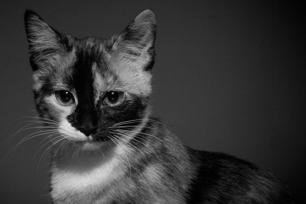 Photo in Black and White #animal #cat #kitty #pet #tricolor #black and white #portrait