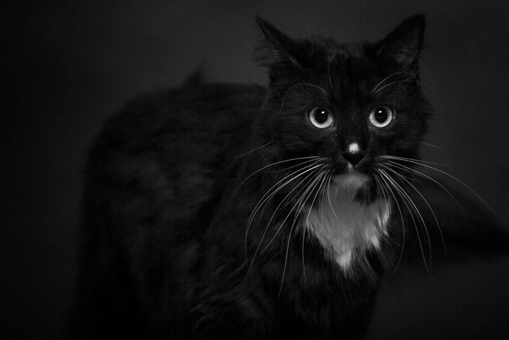 Photo in Black and White #passo #cat #kitty #pet #portrait #blöack and white #lack and white #black and white