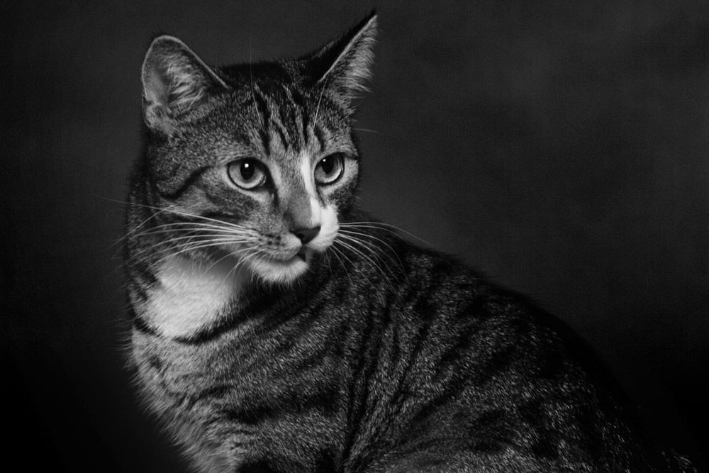 Photo in Random #cat #kitty #pet #tiger #portrait #beauty #black and white