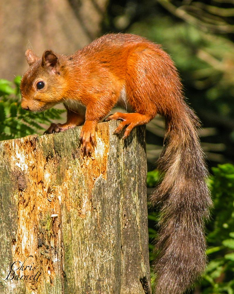 Photo in Random #red #squirrel