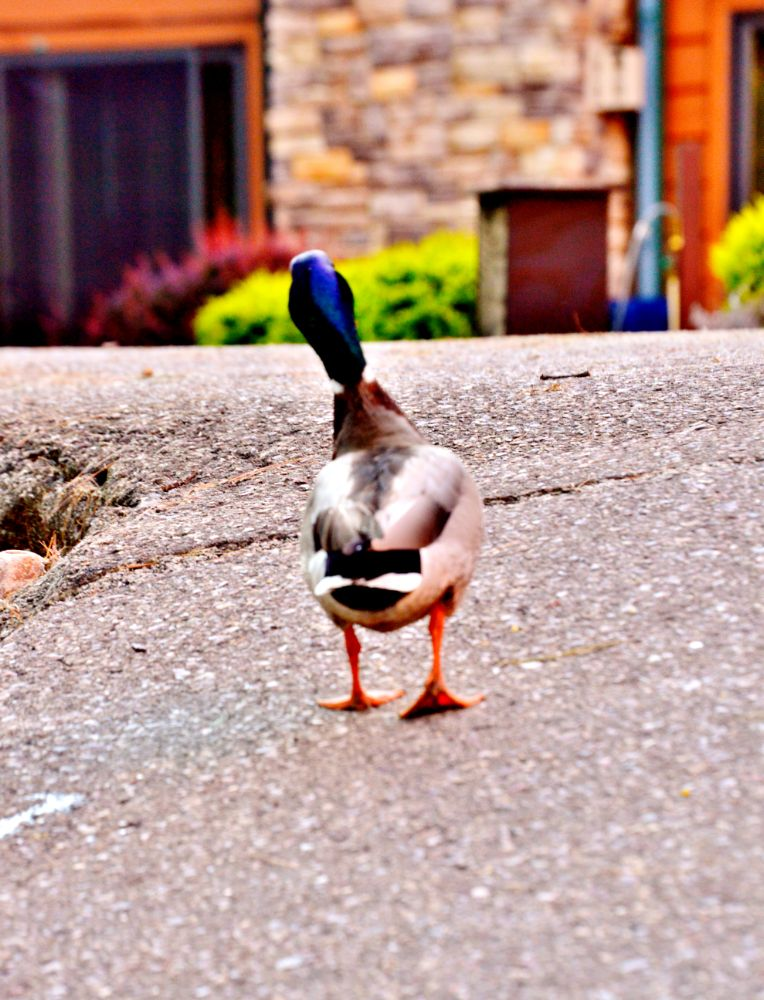 Photo in Animal #duck #cute #nature