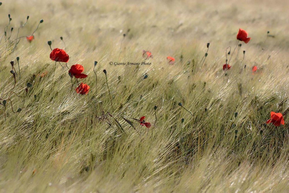 Photo in Fine Art #papaveri #grano #rosso #red #poppies