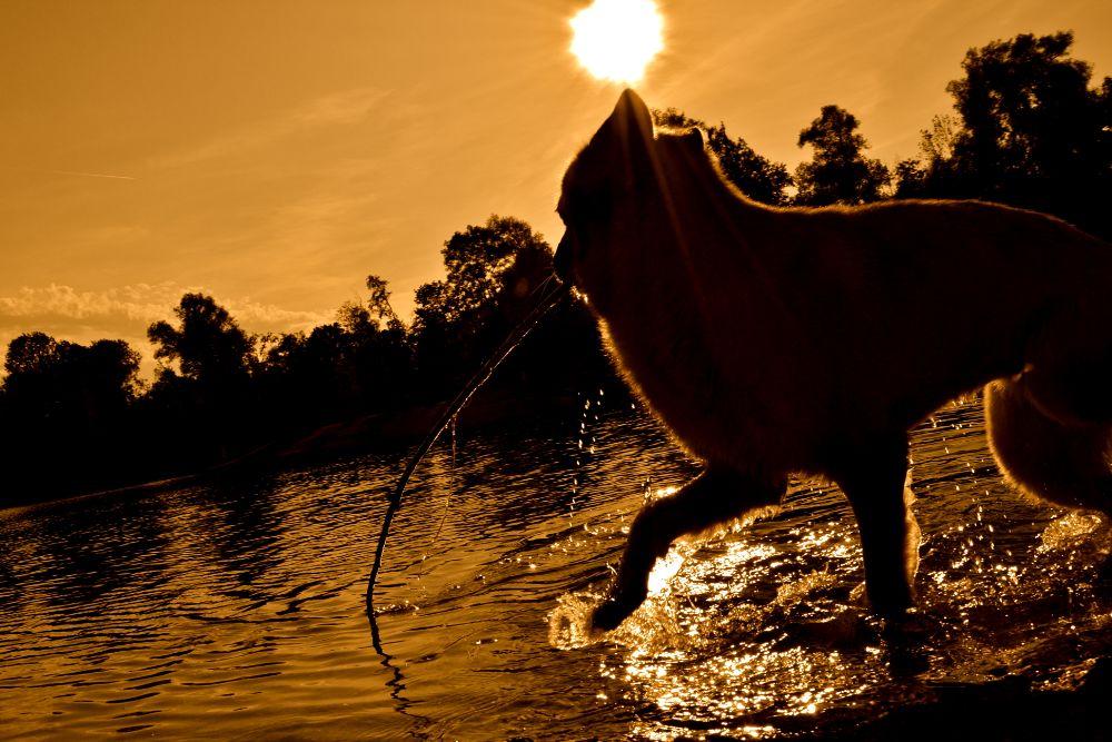 Photo in Animal #dog #sun #water #sunset #nikon #bavaria