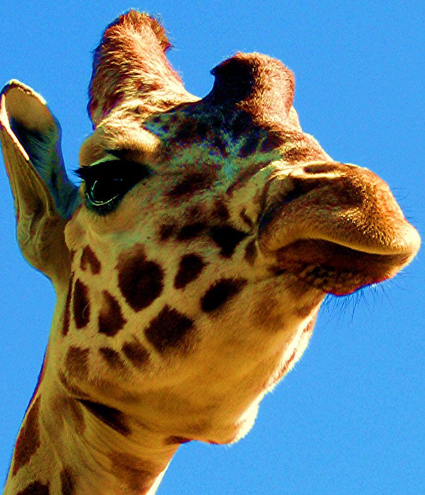Photo in Animal #giraffe #tall #longneck