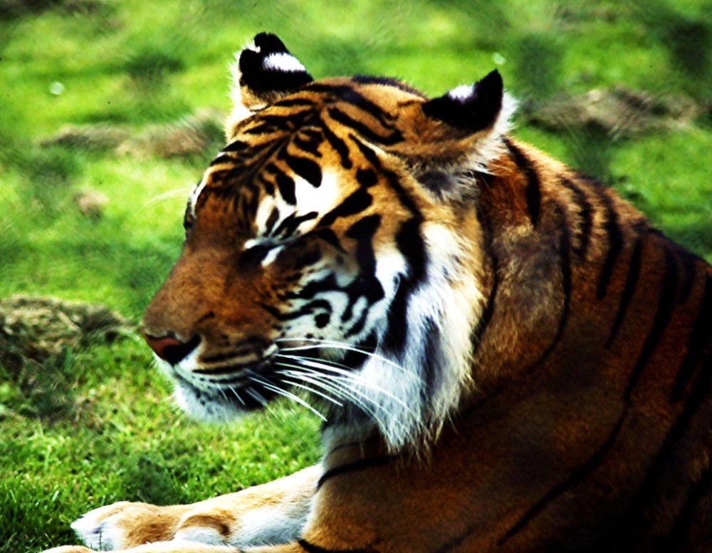 Photo in Animal #tiger #zoo #stripes #animals