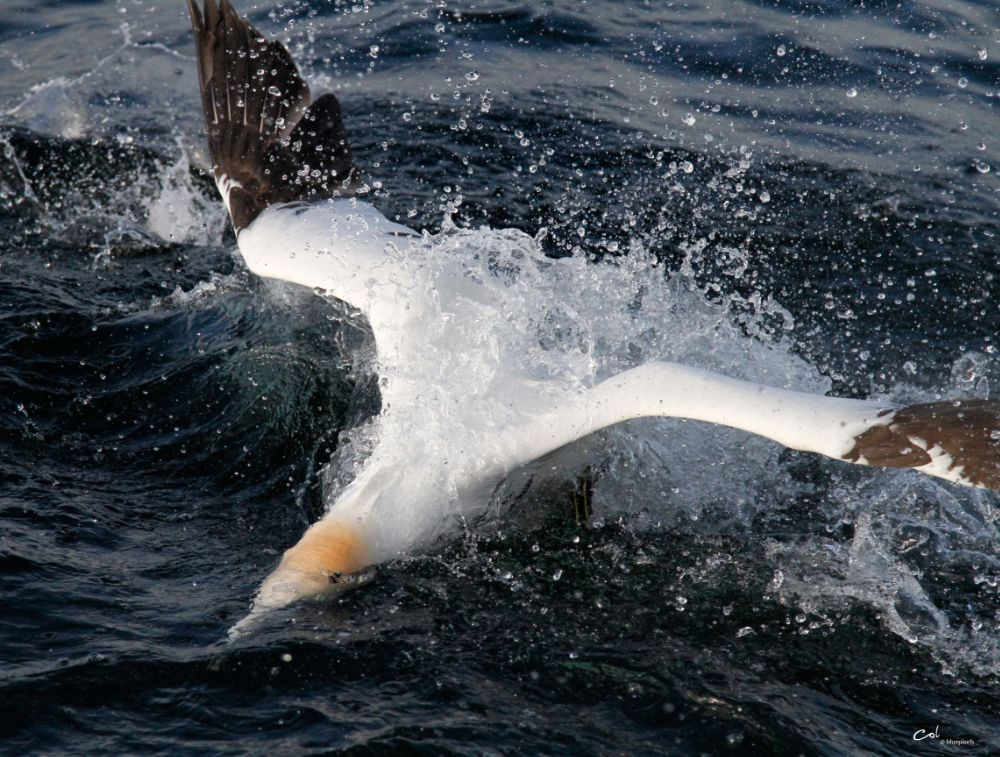Photo in Nature #gannet #gannet diving #seabird #seabird diving #scotland #birding #wildlife #wildlife photography