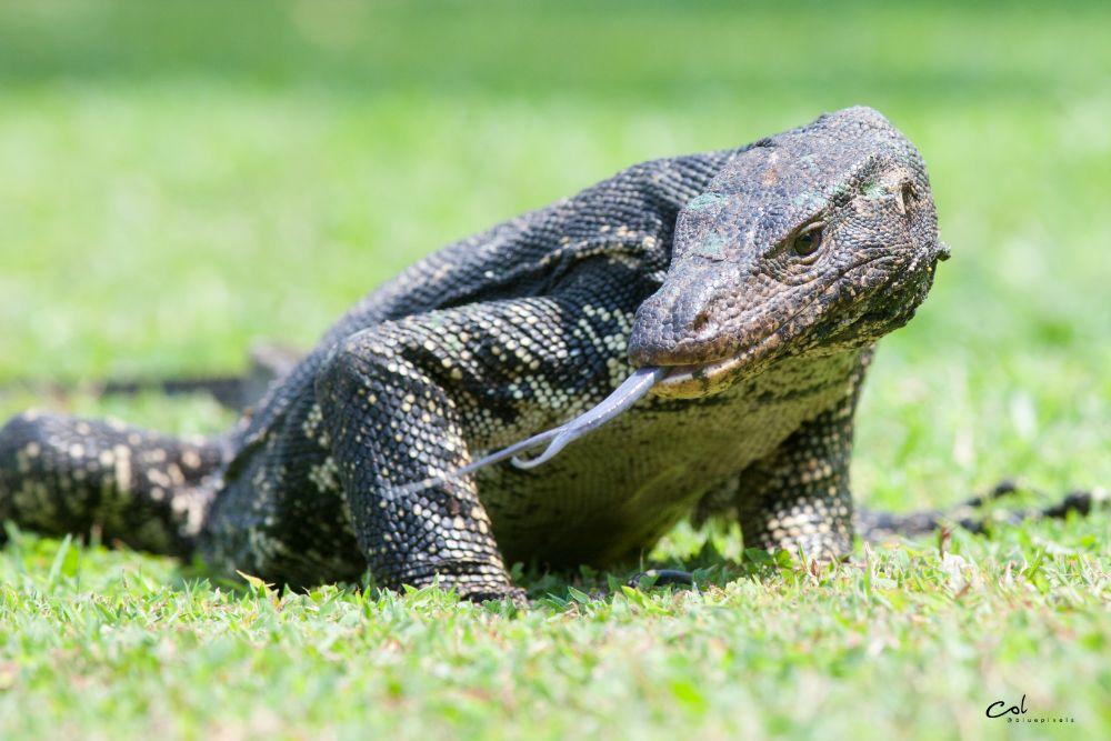 Photo in Animal #lizard #water monitor #sri lanka #colombo #wildlife #wildlife photography