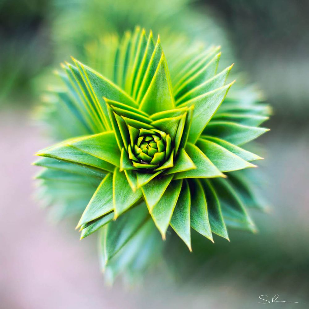 Photo in Nature #tree #monkey puzzle tree #nature #shallow depth