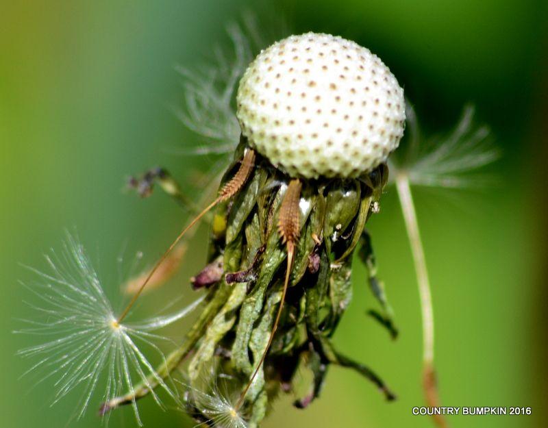 Photo in Nature #flower #flowers #dandelion #dandelions #seed #seeds