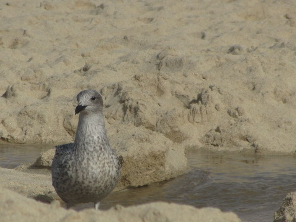 Photo in Animal #gull #beach #sand #cornwall #summer