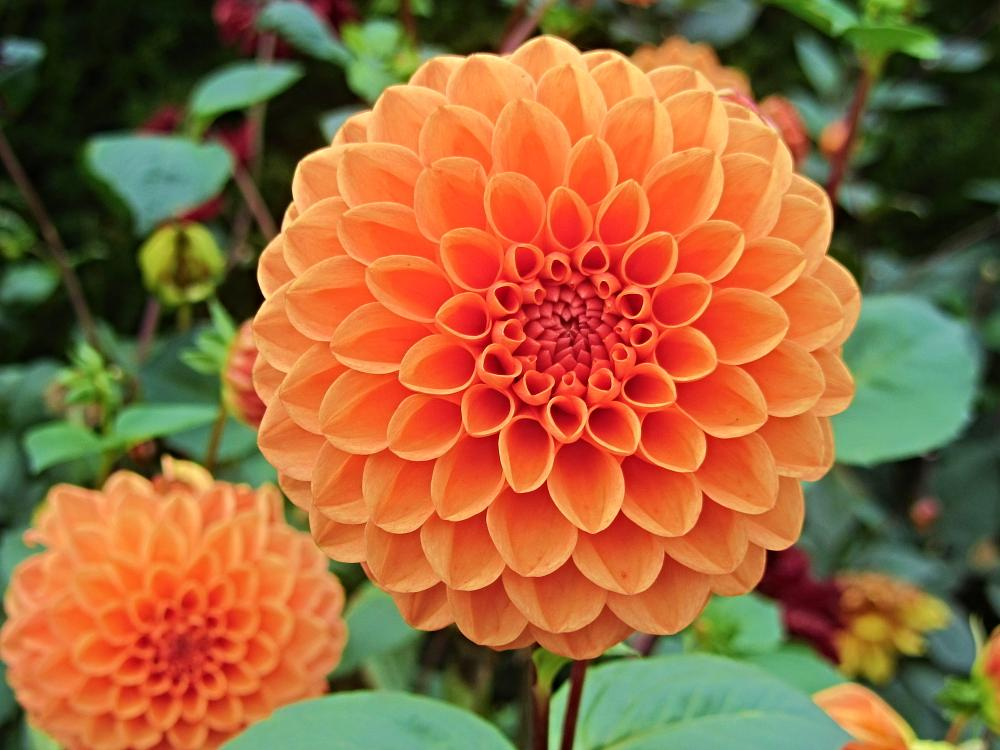 Photo in Nature #flower #autumn #fall #dahlia #orange #garden