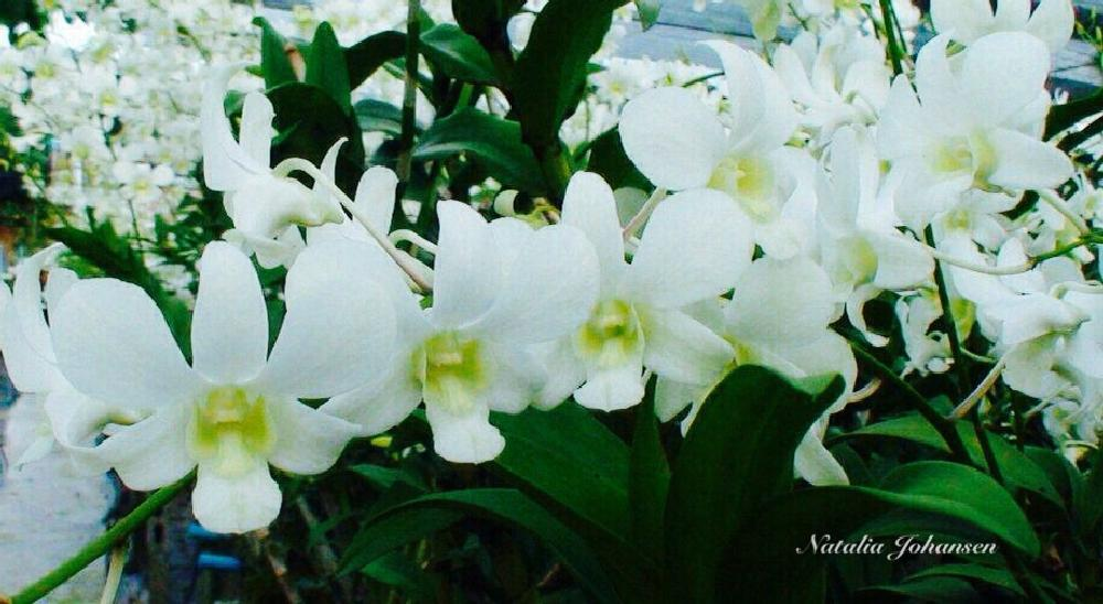 Photo in Nature #orchids flower thailand