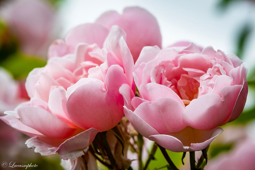 Photo in Nature #flower #rose #garden #clear #nature