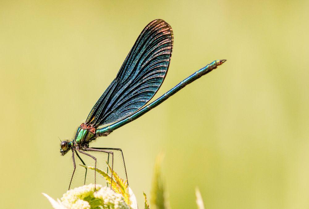 Photo in Nature #libelle #azurjungfer