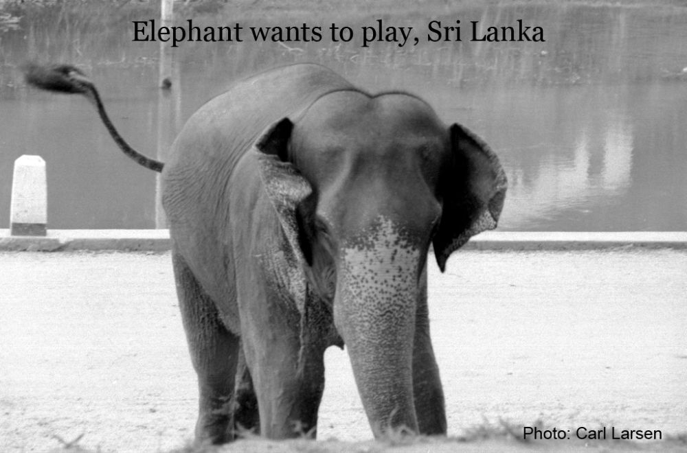 Photo in Animal #sri lanka #carllarsen #elephants